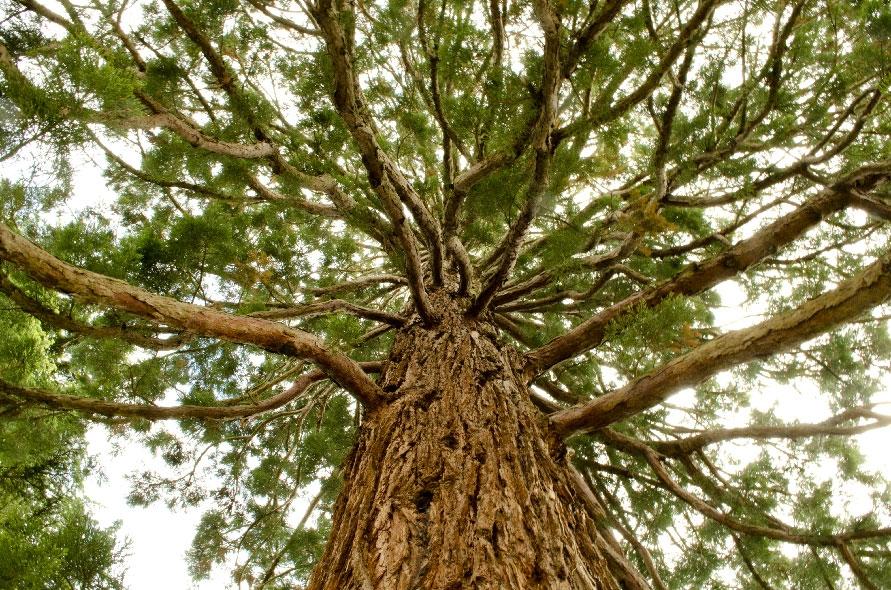 Sequoia Geant Yves Bonis