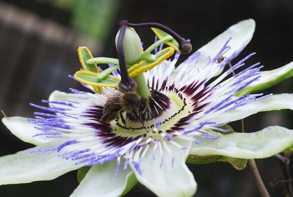 Vegetal Native - Passiflora Caerule