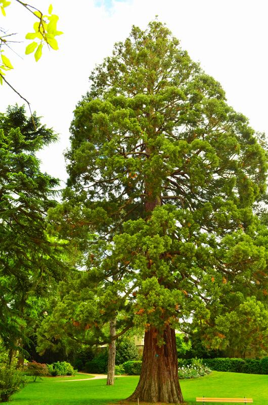 Sequoia Géant - Yves Bonis
