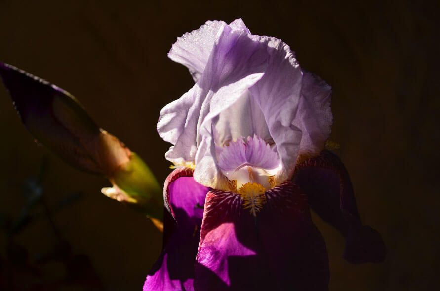 Iris esthétique Marque Fleur - Yves Bonis
